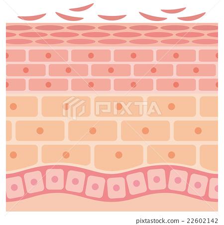 皮肤剖面图 22602142