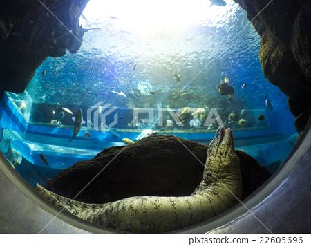 海鰻 22605696