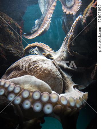 章魚 22605699