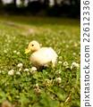 chick, bird, birds 22612336