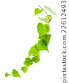 green twig of ivy is isolated on white background 22612493