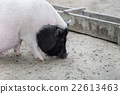 Vietnamese pig are grazed 22613463