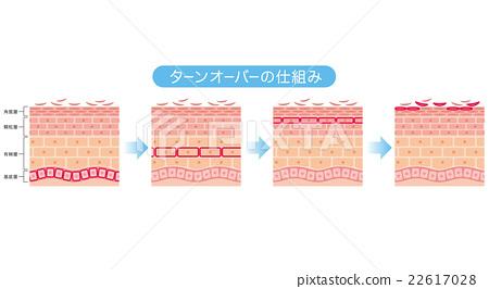 皮膚 斷面圖 剖面圖 22617028
