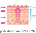 skin, cross-section, diagram 22617292