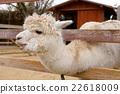 哺乳動物 駱駝科 家畜 22618009