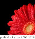 gerbera flower 22618014