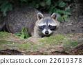 raccoon, animal, racoon 22619378