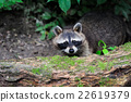 Raccoon in the forest 22619379