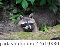 raccoon, animal, racoon 22619380