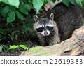 raccoon, animal, racoon 22619383
