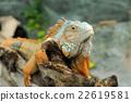 Iguana 22619581