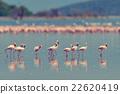 Flamingos 22620419