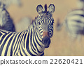 Zebra on grassland in Africa 22620421