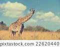 Giraffe in National park of Kenya 22620440