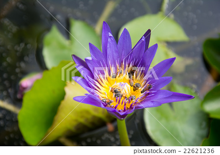 purple lotus blossom 22621236