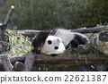 팬더, 판다, 대왕팬더 22621387