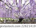 足利是一個花園裡的紫藤格子 22621419