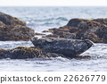 海狗 密封 沉沒的岩石 22626779