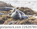 海狗 密封 父母和小孩 22626780
