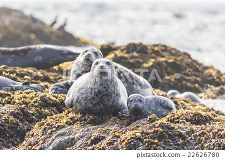 海狗 密封 沉没的岩石 22626780