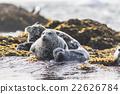 海狗 密封 父母和小孩 22626784