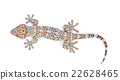 Gecko isolated on white background 22628465