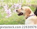 狗 狗狗 拉布拉多犬 22630976