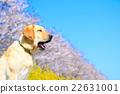 拉布拉多犬 打哈欠 春 22631001