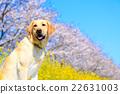 狗 狗狗 拉布拉多犬 22631003