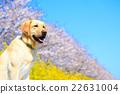 狗 狗狗 拉布拉多犬 22631004
