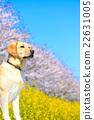 狗 狗狗 拉布拉多犬 22631005