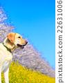 狗 狗狗 拉布拉多犬 22631006