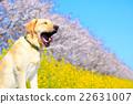 打哈欠 油菜 拉布拉多犬 22631007