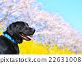 狗 狗狗 拉布拉多犬 22631008