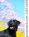 狗 狗狗 拉布拉多犬 22631009