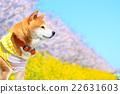 柴犬 叢林犬 紫紅色 22631603