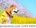 柴犬 叢林犬 紫紅色 22631604