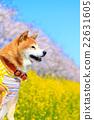柴犬 叢林犬 紫紅色 22631605