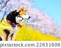 柴犬 叢林犬 觀賞櫻花 22631606