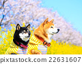 柴犬 叢林犬 觀賞櫻花 22631607