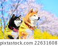 柴犬 叢林犬 觀賞櫻花 22631608