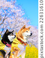 柴犬 叢林犬 觀賞櫻花 22631610