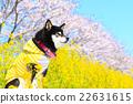 觀賞櫻花 黑清波 柴犬 22631615