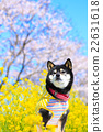 觀賞櫻花 黑清波 柴犬 22631618