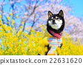 觀賞櫻花 黑清波 柴犬 22631620