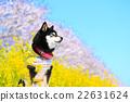 觀賞櫻花 黑清波 柴犬 22631624