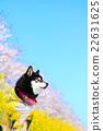 狗 狗狗 觀賞櫻花 22631625