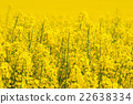 Canola flowers on a yellow field 22638334