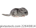 Chinchilla baby isolated over white background 22640814