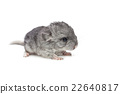 Chinchilla baby isolated over white background 22640817